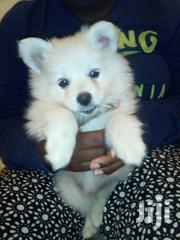 3 Month Old Japanesse Spitz For Sale | Dogs & Puppies for sale in Nairobi, Imara Daima