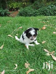 Maltese House Pet | Dogs & Puppies for sale in Nairobi, Parklands/Highridge
