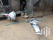 Turkey Weight | Livestock & Poultry for sale in Mombasa, Bamburi