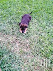 Gsd On Sale | Dogs & Puppies for sale in Uasin Gishu, Kiplombe
