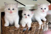 White Ragdoll Kittens For Sale | Cats & Kittens for sale in Nairobi, Nairobi South