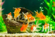 Fantails Goldfish Available | Fish for sale in Nairobi, Pangani