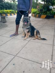 German Shepherd Female | Dogs & Puppies for sale in Nairobi, Kahawa