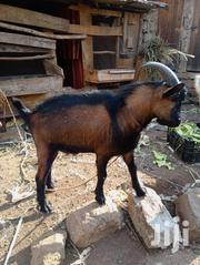 A Hybrid He-goat. | Other Animals for sale in Murang'a, Kagundu-Ini
