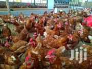 Ex Layer Chickens For Sale | Livestock & Poultry for sale in Kajiado, Ngong