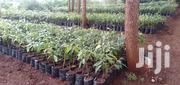 Hass Ovacado Seedlings And Other Fruit Seedling | Feeds, Supplements & Seeds for sale in Machakos, Athi River