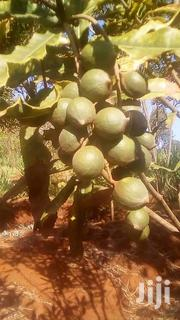 Macadamia Nuts Seedlings | Feeds, Supplements & Seeds for sale in Machakos, Athi River