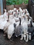 Geese Goose Offer This Season | Other Animals for sale in Kabete, Kiambu, Kenya