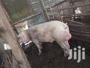 Camborough Pigs for Sale | Other Animals for sale in Kiambu, Ngoliba