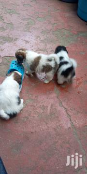 Puppies For Sale | Dogs & Puppies for sale in Nairobi, Umoja II