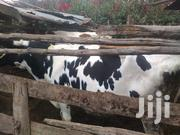 3 Incalf Dairy Cows On Sale | Other Animals for sale in Kajiado, Ngong
