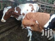 2 Incalf Dairy Cows On Sale | Livestock & Poultry for sale in Kajiado, Ngong