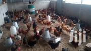 F1 Kuroiler Chicks | Livestock & Poultry for sale in Mombasa, Likoni