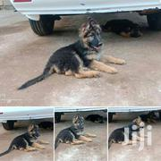 Both Male And Females Available | Dogs & Puppies for sale in Nakuru, Nakuru East