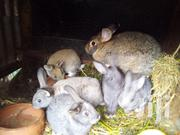 Flemish Giant Rabbit | Other Animals for sale in Kiambu, Karuri