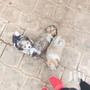 Chinese Shih Tzu Little Poppy | Dogs & Puppies for sale in Nairobi, Kilimani