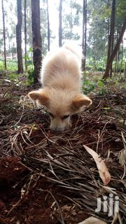 Chihuahua Dog | Dogs & Puppies for sale in Kiambu, Uthiru