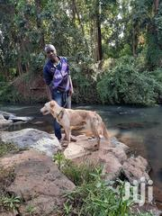Selling A Dog | Dogs & Puppies for sale in Nairobi, Ruai