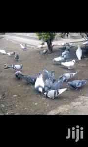 Doves White And Grey | Other Animals for sale in Nakuru, Menengai West