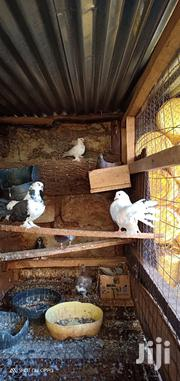 Fantail Pigeon For Sale | Birds for sale in Murang'a, Township G