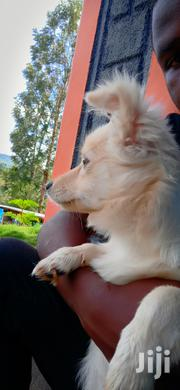 Chihuahua For Sale | Dogs & Puppies for sale in Tharaka-Nithi, Igambang'Ombe