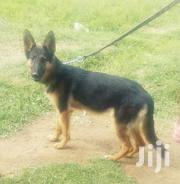 8months Female Gsd | Dogs & Puppies for sale in Nakuru, Gilgil