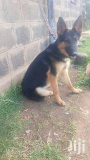 Female Gsd | Dogs & Puppies for sale in Nakuru, Gilgil