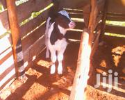 Bull Calf 3wks Old | Other Animals for sale in Murang'a, Kangari