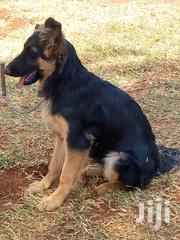 German Shepherd Black/Tan And Full Black Ready For New Homes | Dogs & Puppies for sale in Kiambu, Muchatha