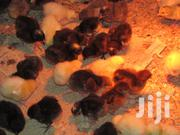 Sex Assorted Kuroilers Ug Female/Hen Chicks | Livestock & Poultry for sale in Nairobi, Nairobi Central