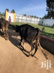 A Cow For Sale   Livestock & Poultry for sale in Trans-Nzoia, Waitaluk