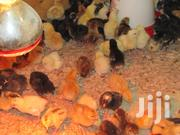 Rainbow Rooster Chicks (Kukuchic LTD) | Livestock & Poultry for sale in Nairobi, Nairobi Central
