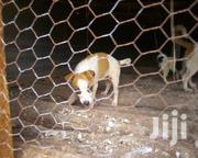 Pure Breed Jack Russell Puppies | Dogs & Puppies for sale in Nairobi, Kitisuru