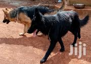 Stud Services [Pure Black GSD, Longcoat] and Upcoming Litter | Dogs & Puppies for sale in Kiambu, Muguga