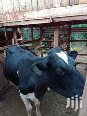 Pure Breed Fresian Cow | Other Animals for sale in Nyeri, Mukurwe-Ini West