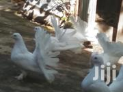 White Fantail Pigeons | Birds for sale in Mombasa, Bamburi