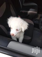 White Japanese Spitz | Dogs & Puppies for sale in Nairobi, Embakasi