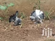 Fantail Pigeons | Birds for sale in Nairobi, Komarock