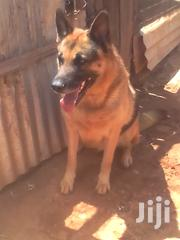 Great Dogs on Sale | Dogs & Puppies for sale in Nairobi, Embakasi