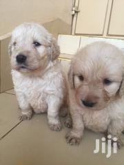 Golden Retriver For Sale | Dogs & Puppies for sale in Meru, Ruiri/Rwarera