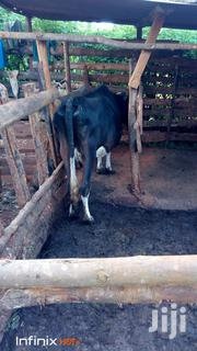 Dairy Cow For Sale   Other Animals for sale in Murang'a, Gatanga