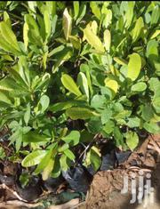 Mango And Other Seedlings At A Good Price | Feeds, Supplements & Seeds for sale in Mombasa, Bamburi
