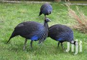 Vulturine Guineafowl For Sale | Birds for sale in Nairobi, Kahawa West