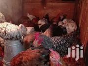 Improved Kienyeji Rainbow Roster | Livestock & Poultry for sale in Mombasa, Changamwe
