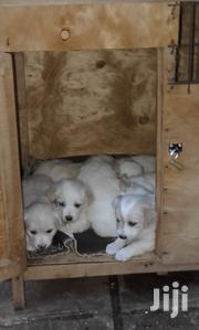 Japanese Spitz Puppies For Sale | Dogs & Puppies for sale in Nairobi, Kasarani