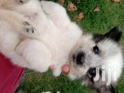 Japanese Spitz And Maltese Mix Puppies | Dogs & Puppies for sale in Machakos, Syokimau/Mulolongo