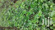 Passion Seedlings | Feeds, Supplements & Seeds for sale in Murang'a, Ruchu