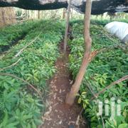 Hass Ovagadoes | Feeds, Supplements & Seeds for sale in Uasin Gishu, Racecourse