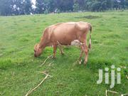 Ayrshire Cow | Other Animals for sale in Nandi, Kapsabet