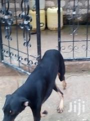 Dogs On Sell | Dogs & Puppies for sale in Baringo, Marigat